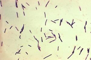 ウェルシュ菌